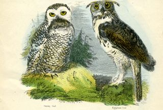 Owls duo