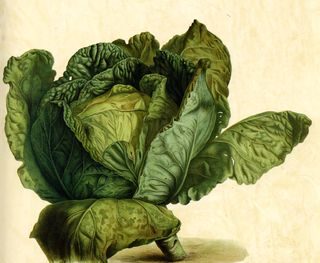 Gorgeous antique cabbage