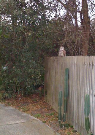 Chris' owl