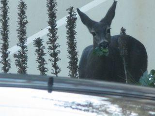 Sausalito deer