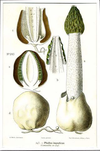 Phallic mushroom