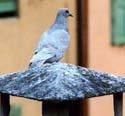 Pigeon crop