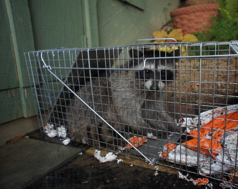 Raccoon of the week 2
