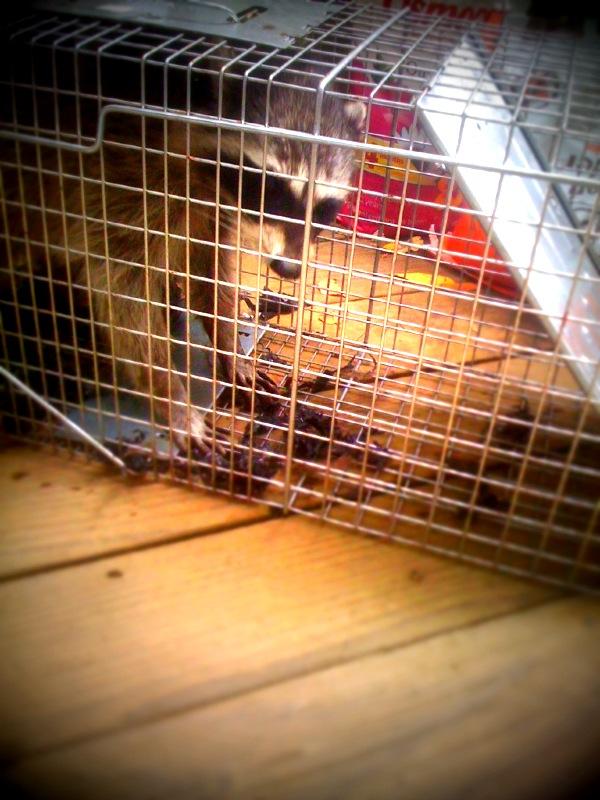 Raccoon claws