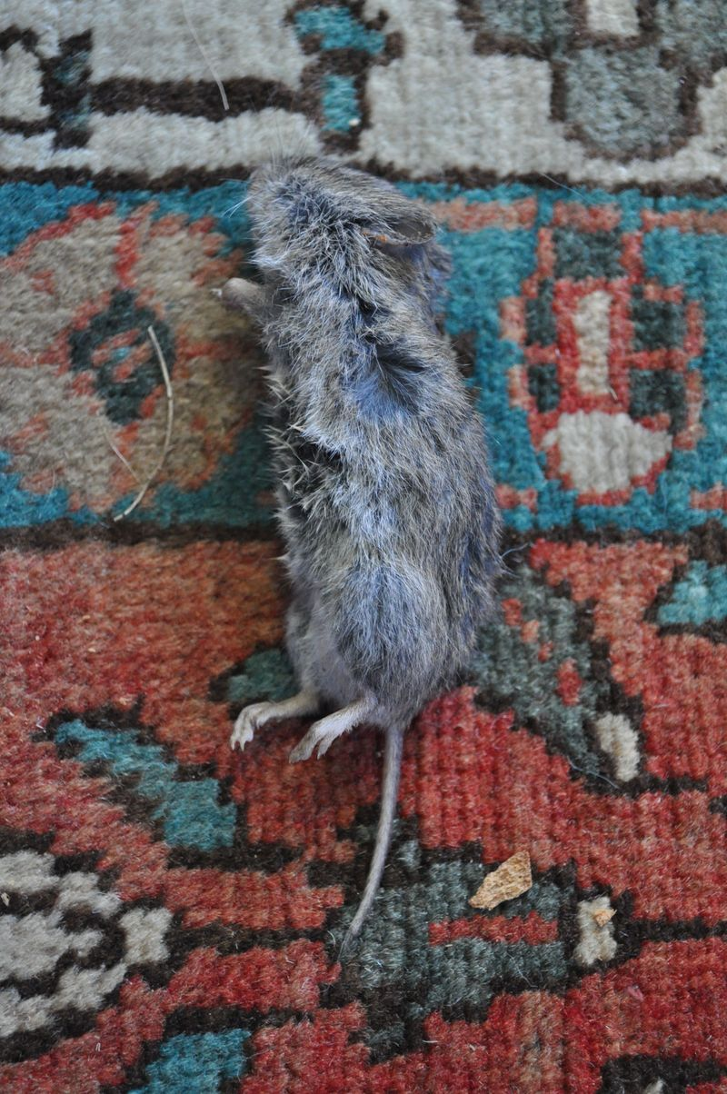 Mouse on the rug
